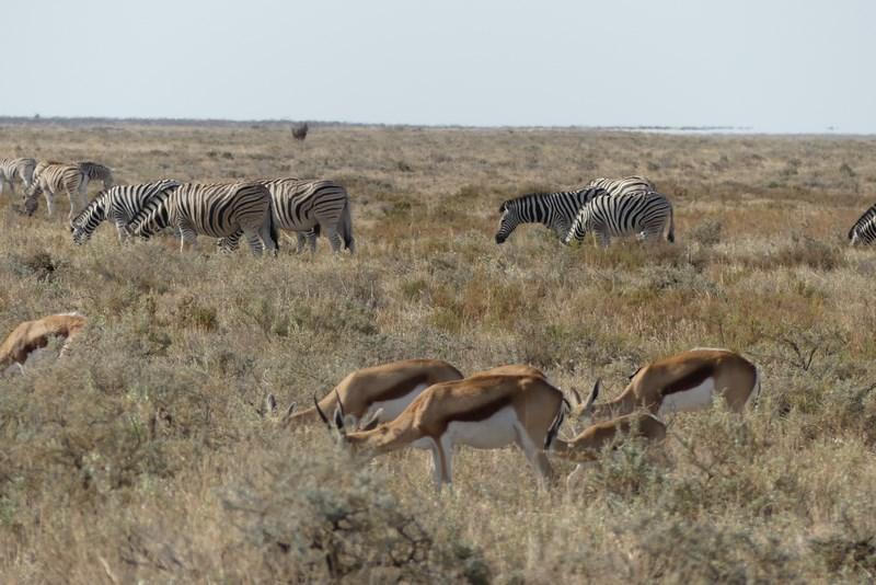 Antilope si zebre