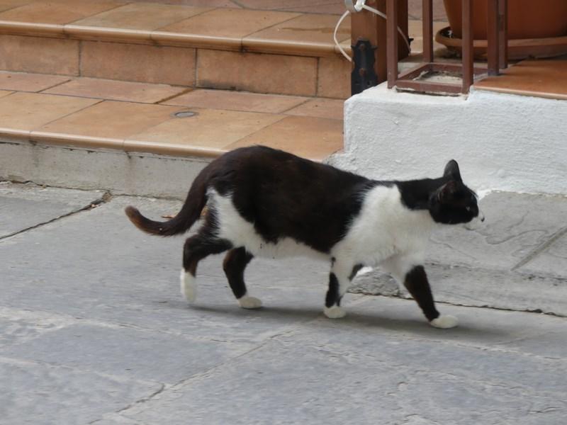 Pisica Rhodos