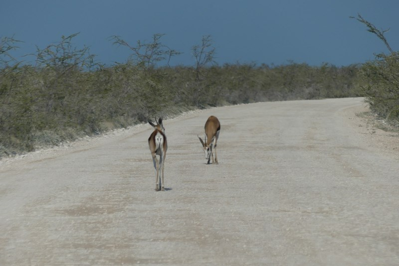 Antilope pe sosea