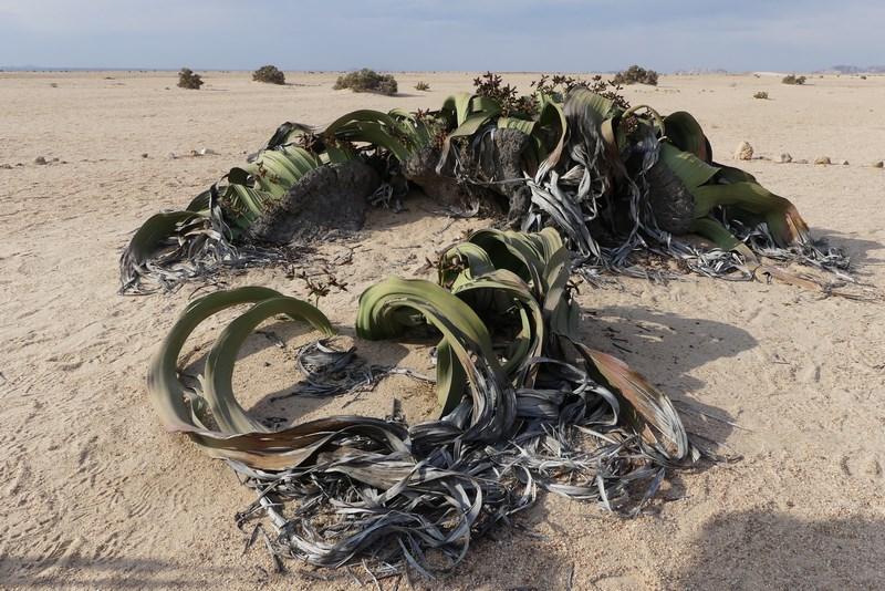 . Welwitschia Mirabilis