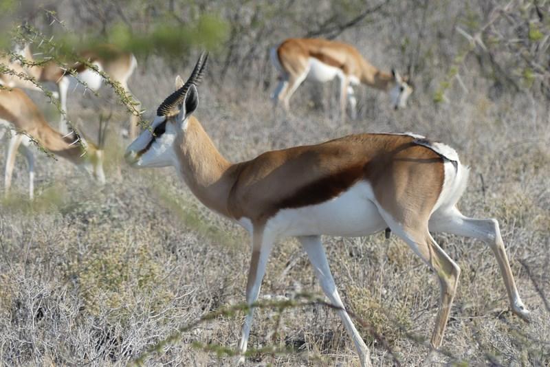 Antilopa Thomson