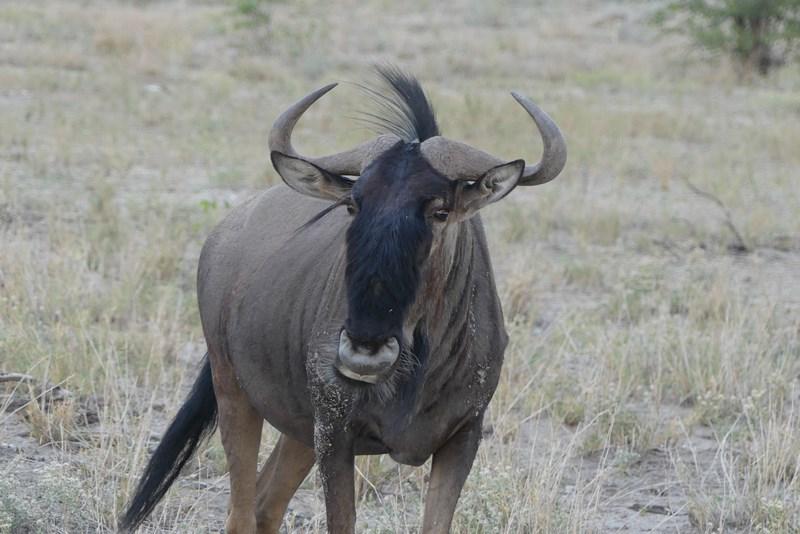 Antilopa gnu Etosha