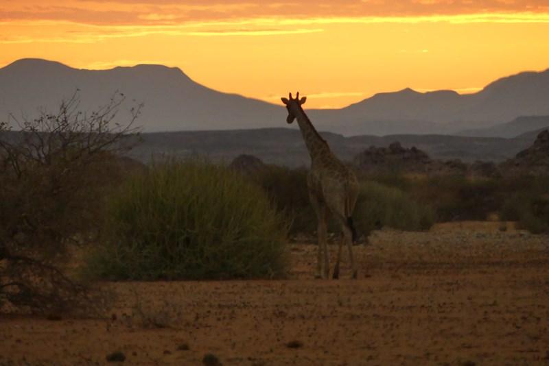 Apus de soare cu girafa