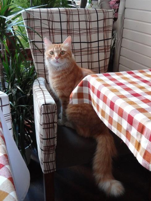 Pisica Istanbul