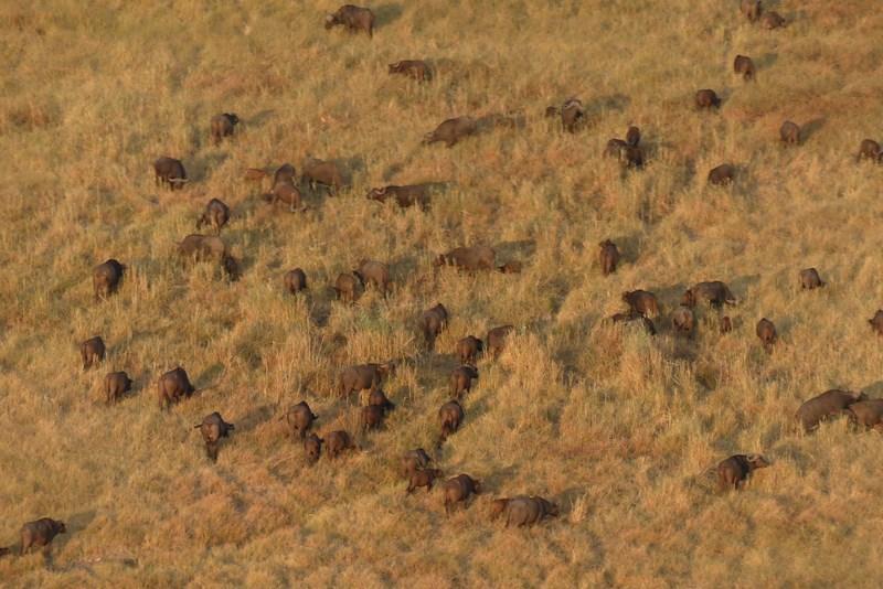 Bivoli africani