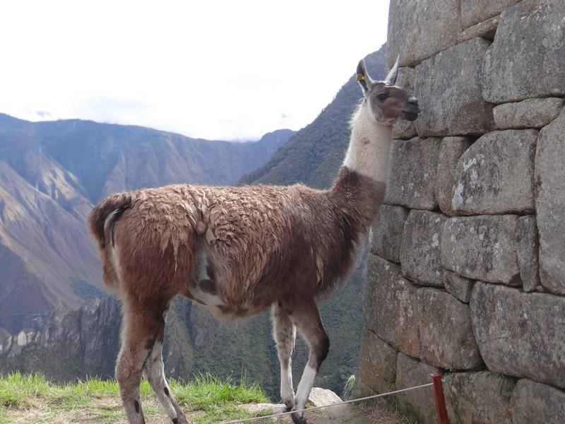 . Lama la Machu Picchu