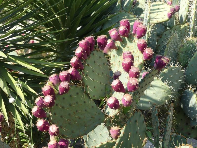 Fructe cactus