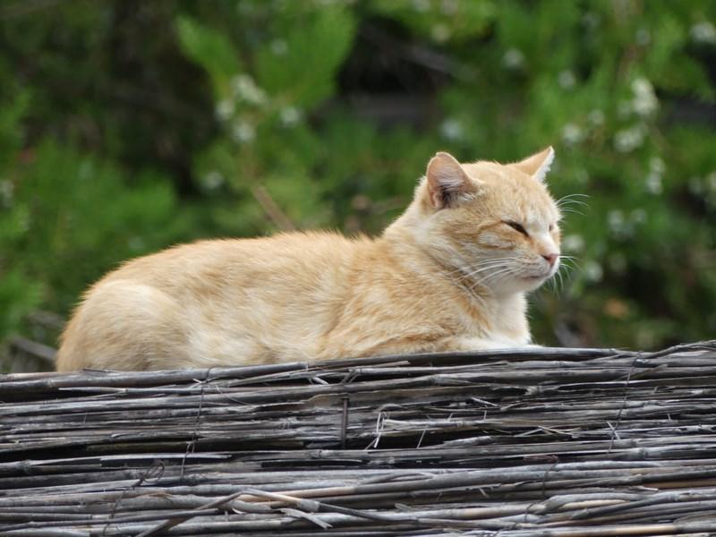 Pisica bulgareasca