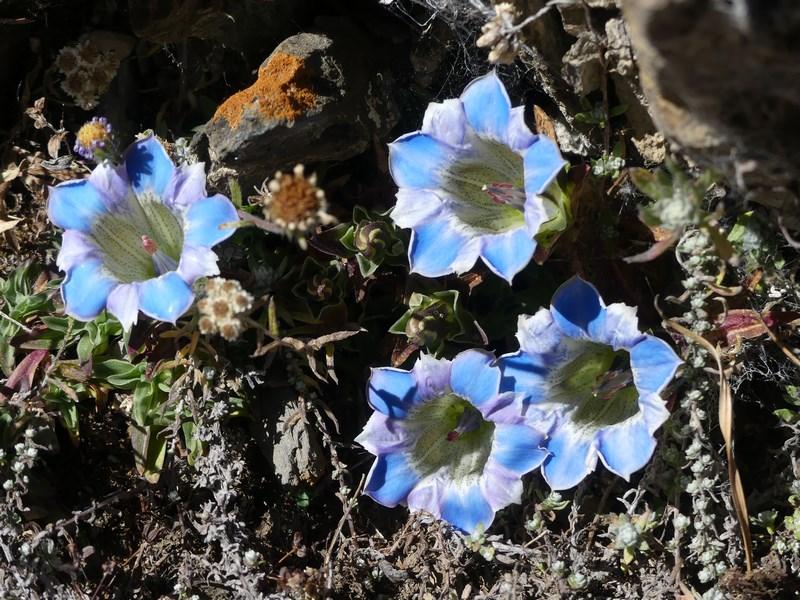 Flori Himalaya