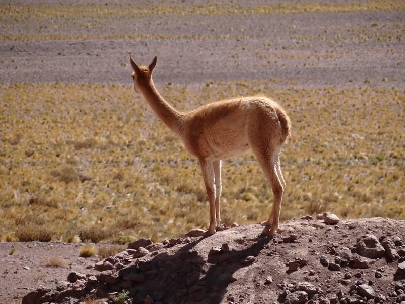 Alpaca Chile