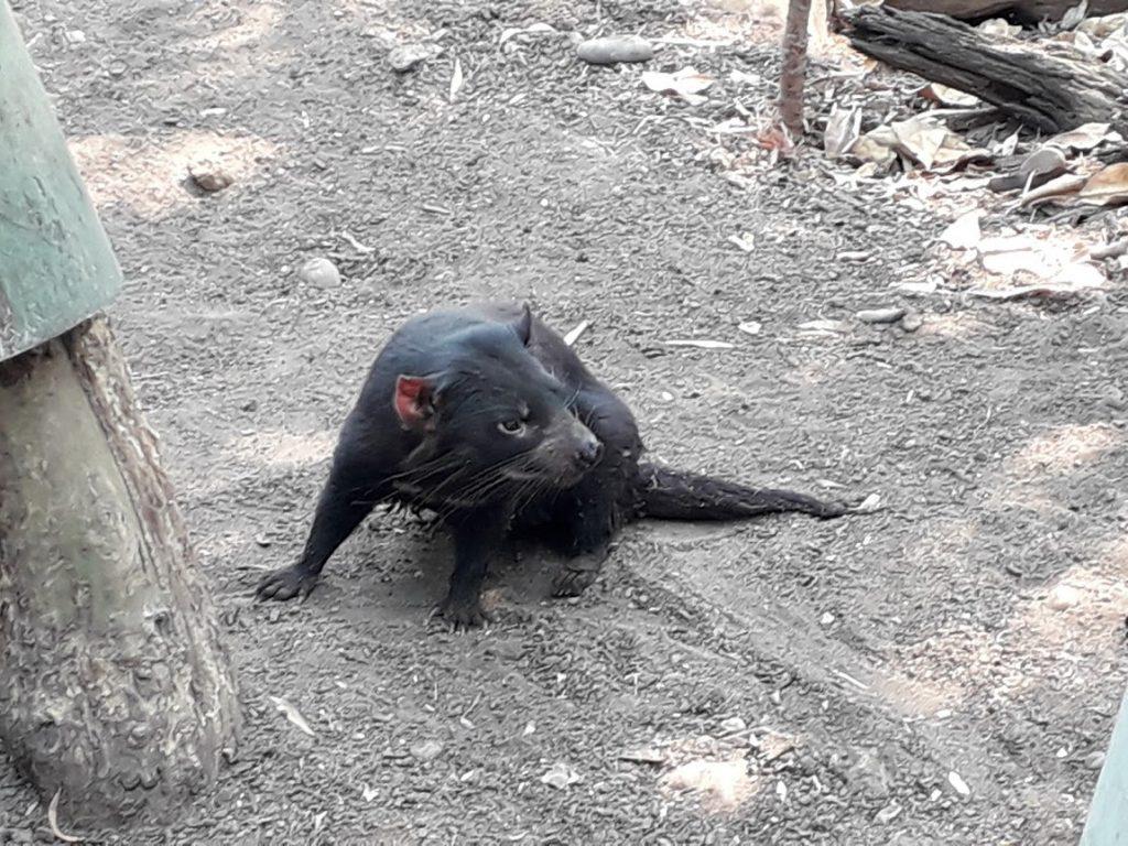 Diavolul australian