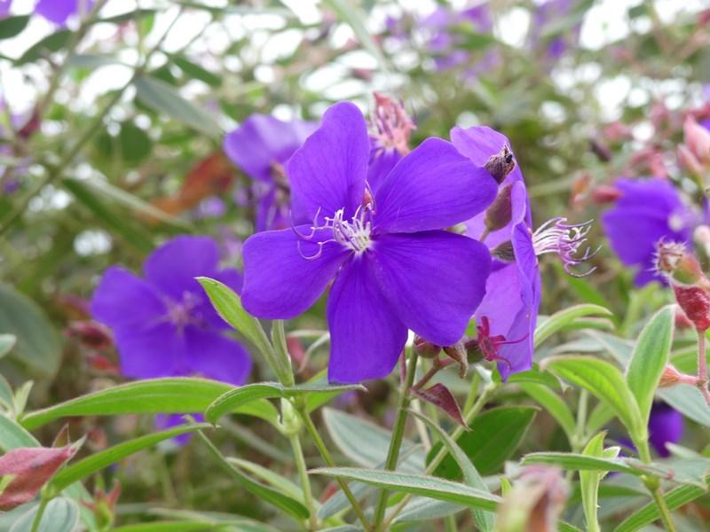 Flori Minca Columbia