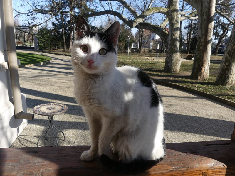 Pisica Manasia