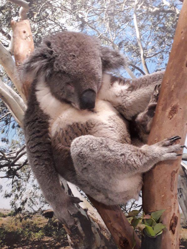 Koala Sydney