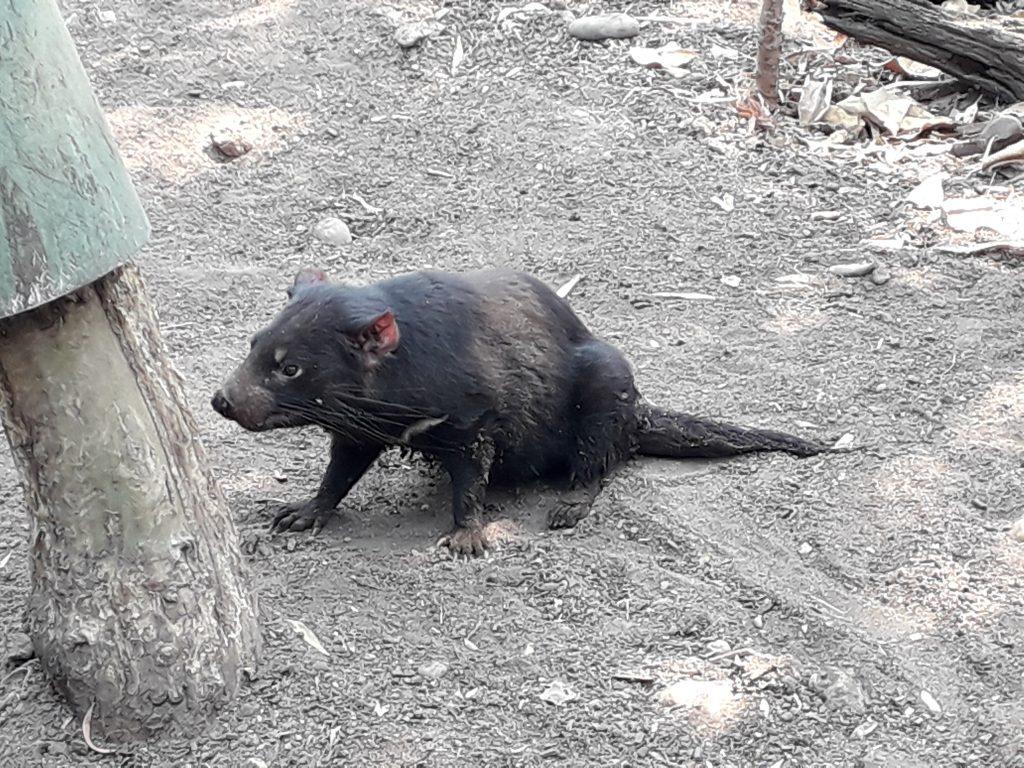 Diavol tasmanian