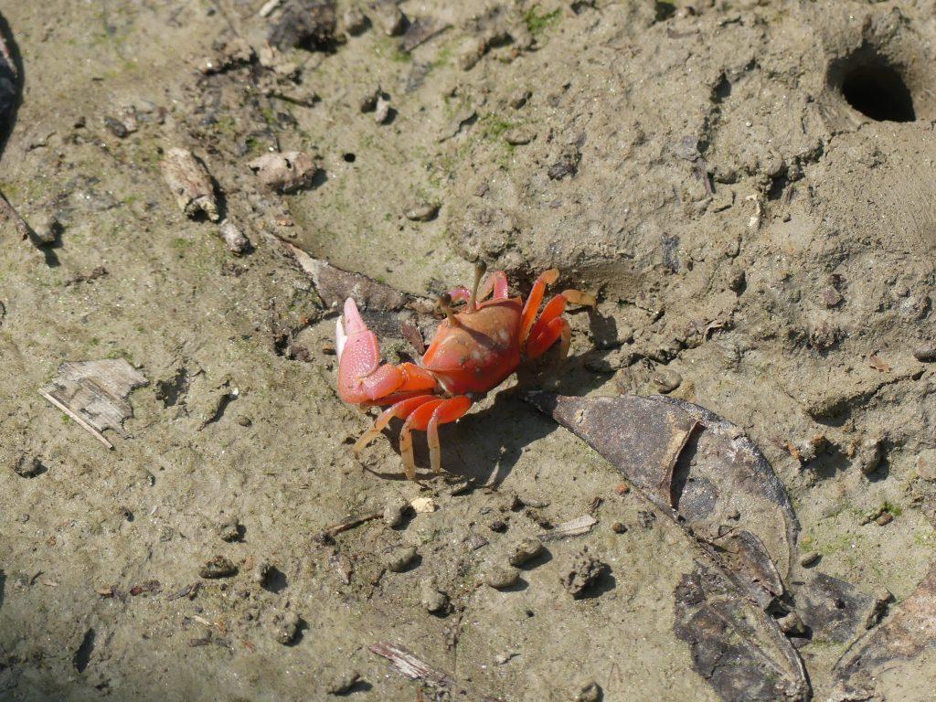 Crab rosu