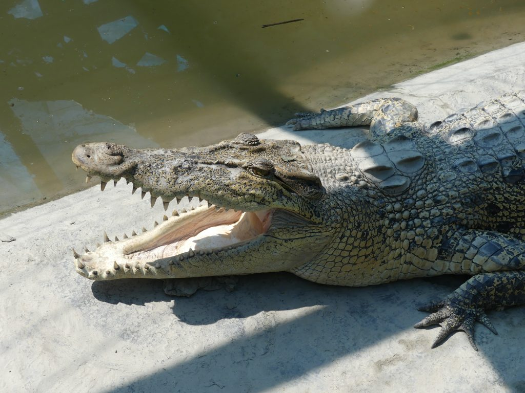 Crocodil Sunderbans