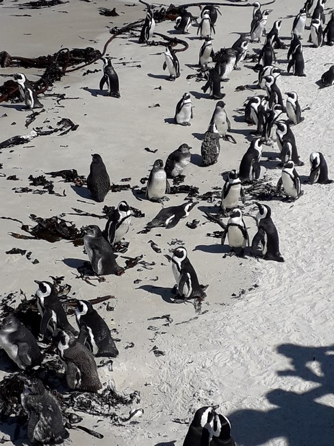 Boulders Beach pinguins
