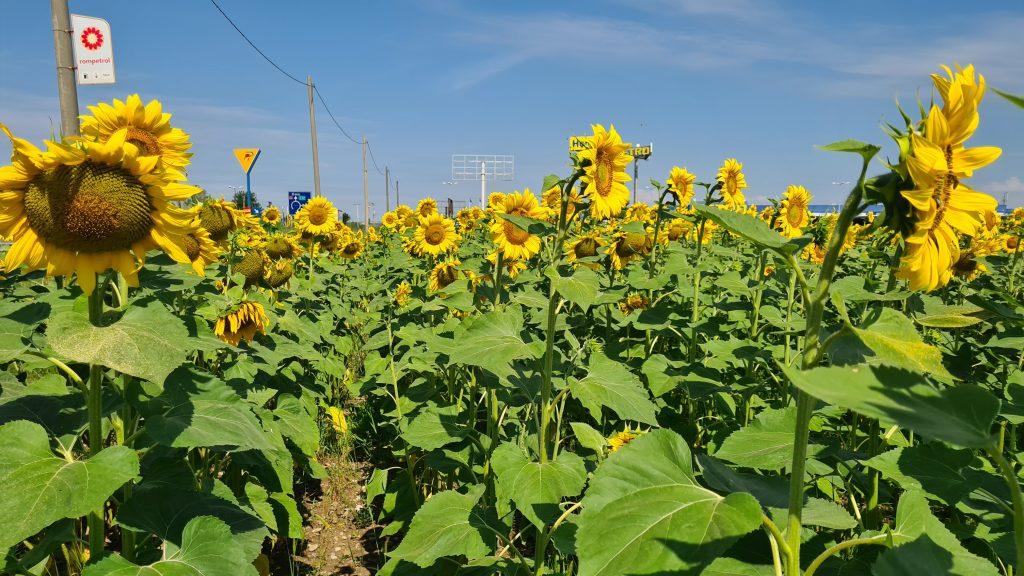 Floarea soarelui Samsung