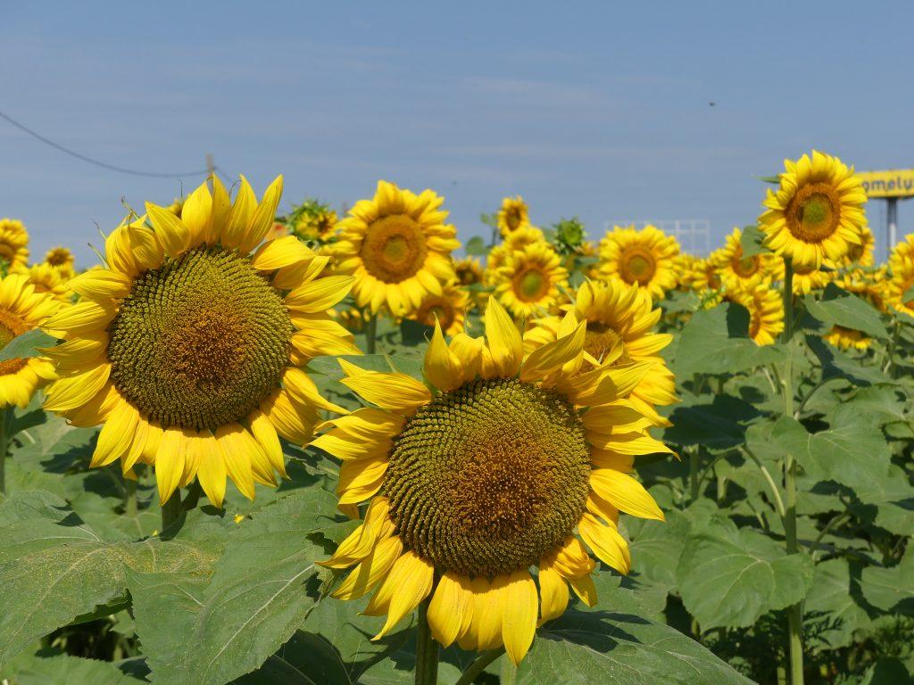 Floarea soarelui Panasonic