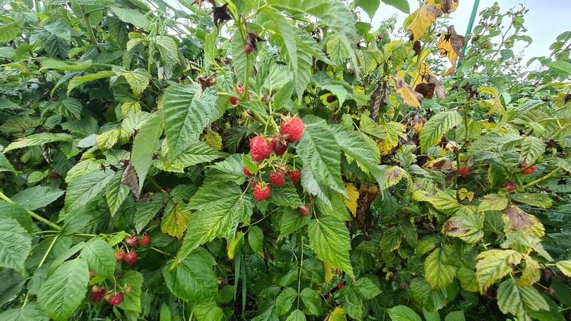 Zmeura Transylvania Berries