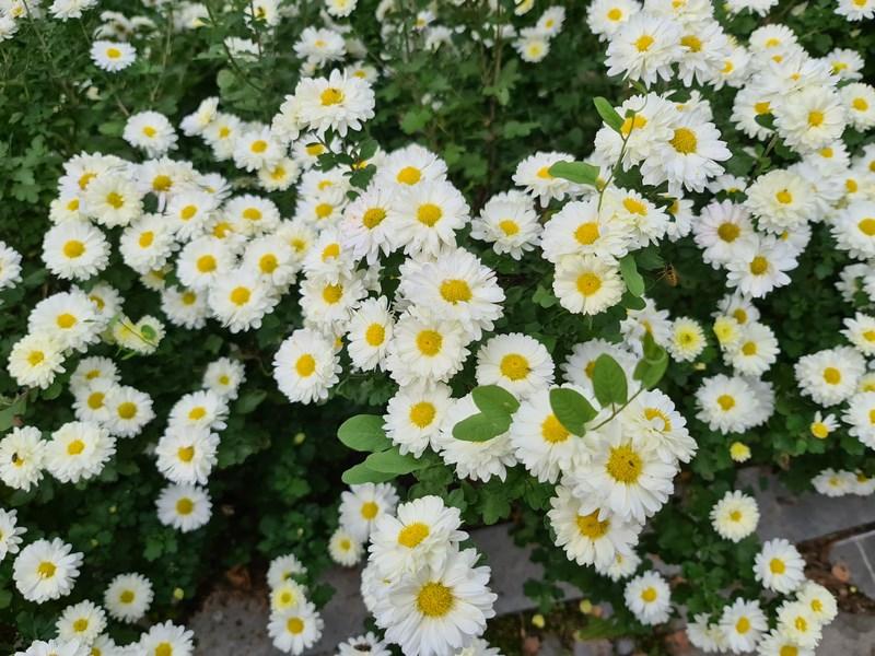 Flori Golesti