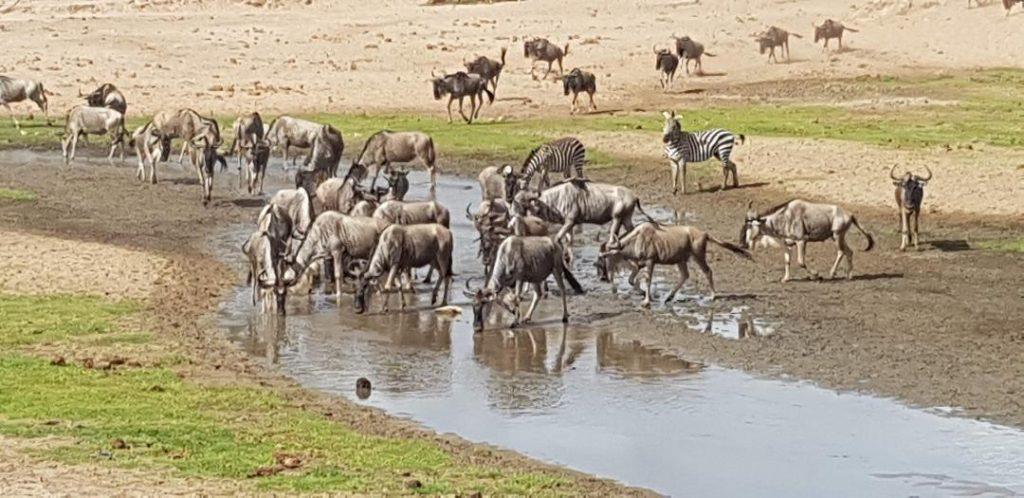 Antilope gnu si zebre