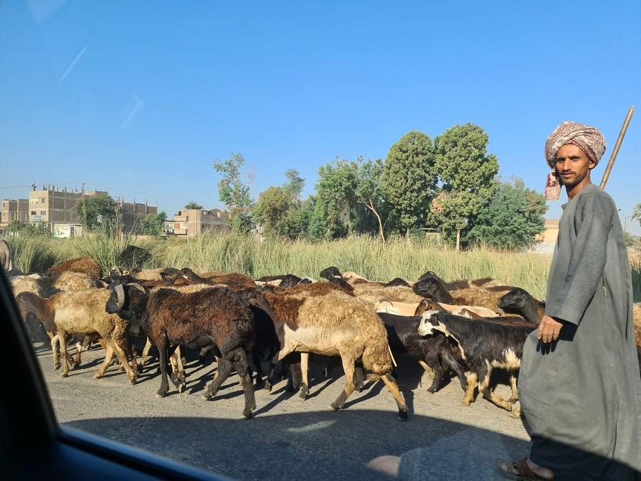 Cioban egiptean
