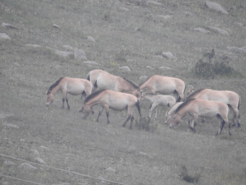 Cai salbatici Mongolia