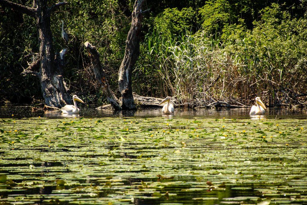 . Pelicani la Poză