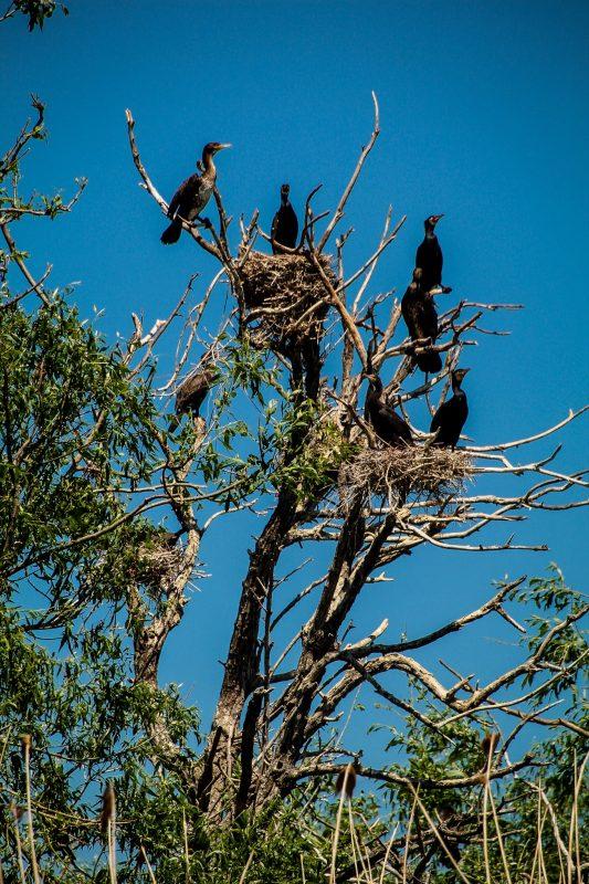 . Un copac cu cormorani