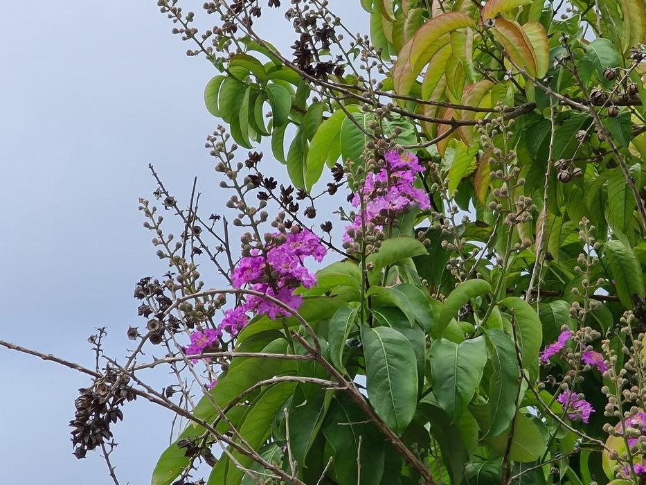 Flori Dominicana