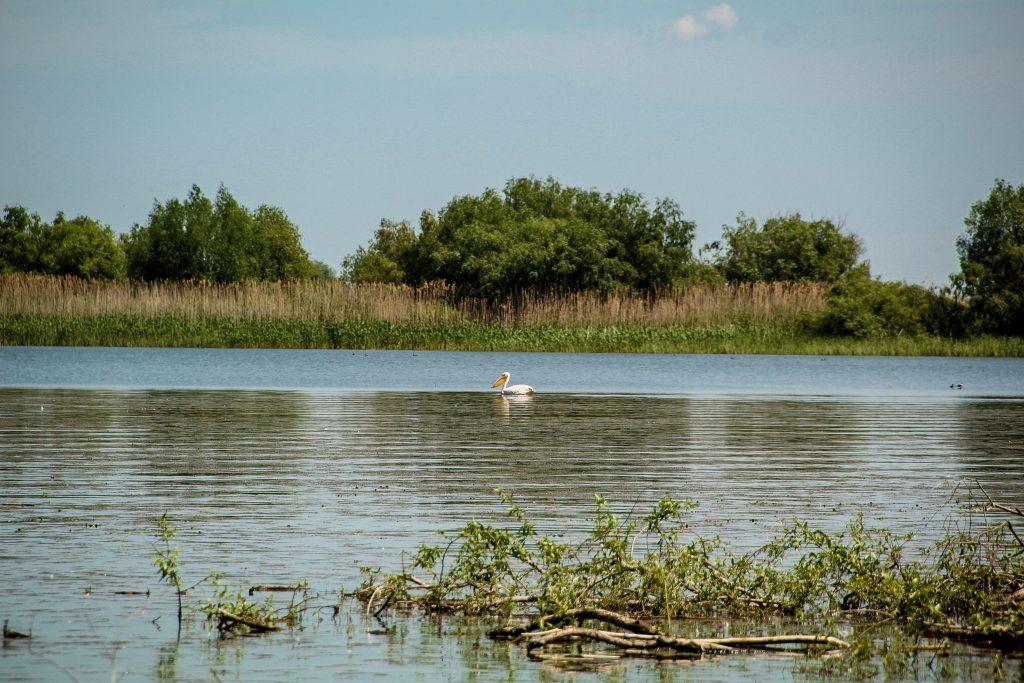 . Un pelican pe lac