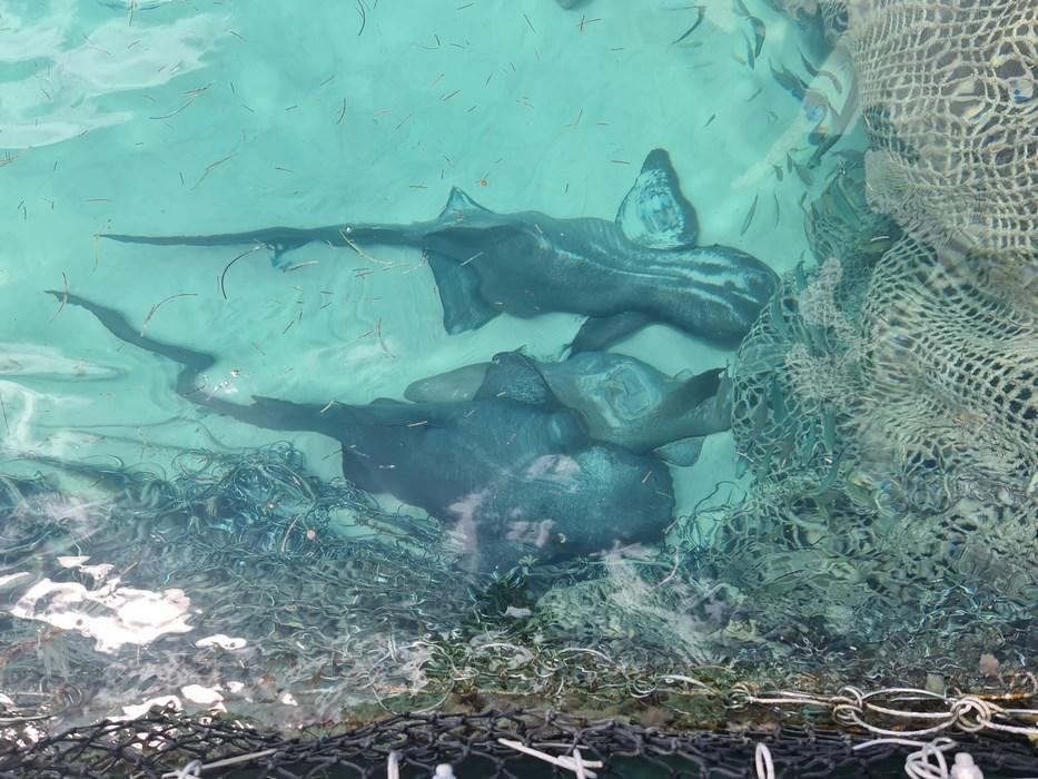 Nurse sharks Punta Cana