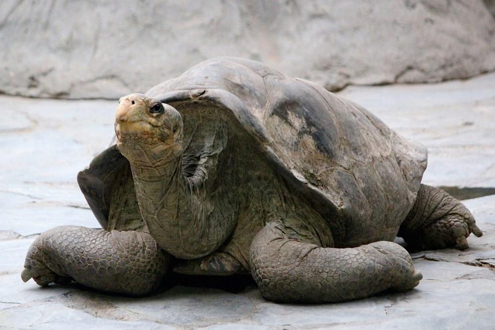 Broasca testoasa Galapagos