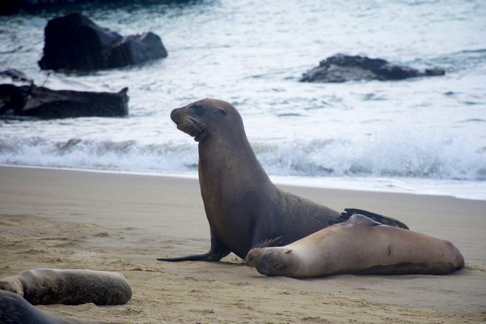 Leu de mare Ecuador