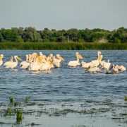 Pelicani în Delta Dunării