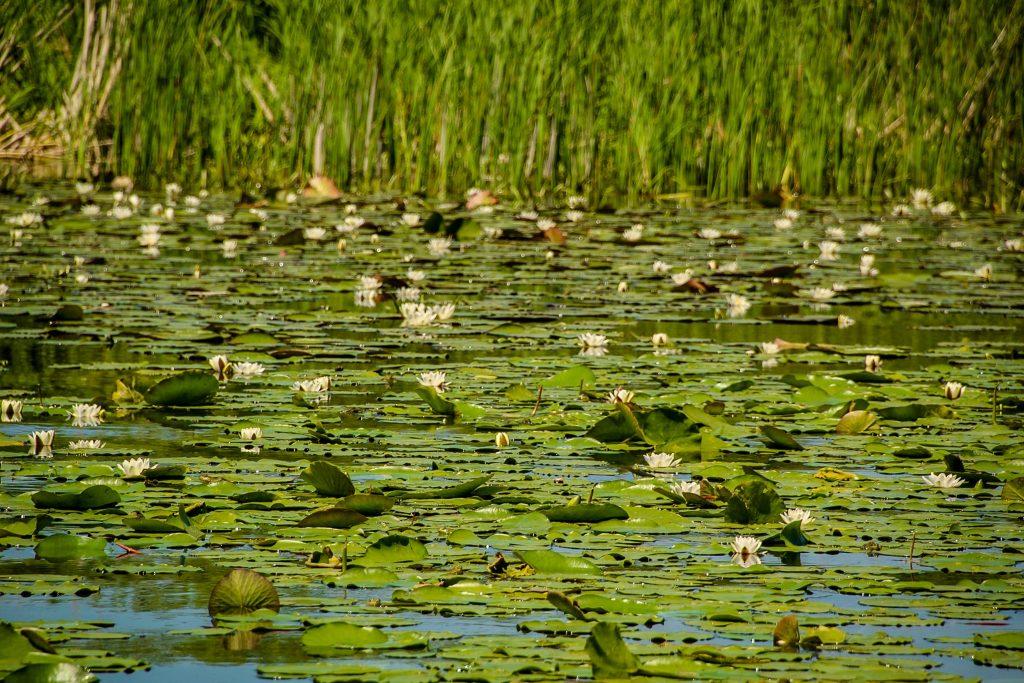 . Nuferii au început să înflorească în Delta Dunării
