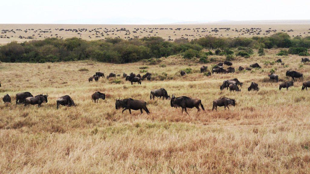 Marea Migratie Masai Mara