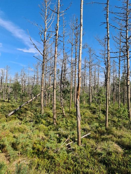 Copaci morti