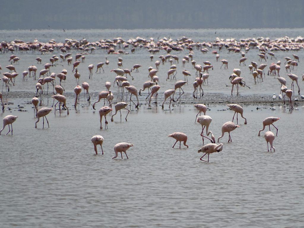 Flamingo Nakuru Kenya