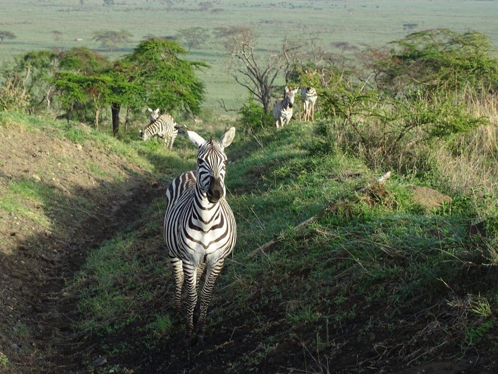 Zebre Nakuru