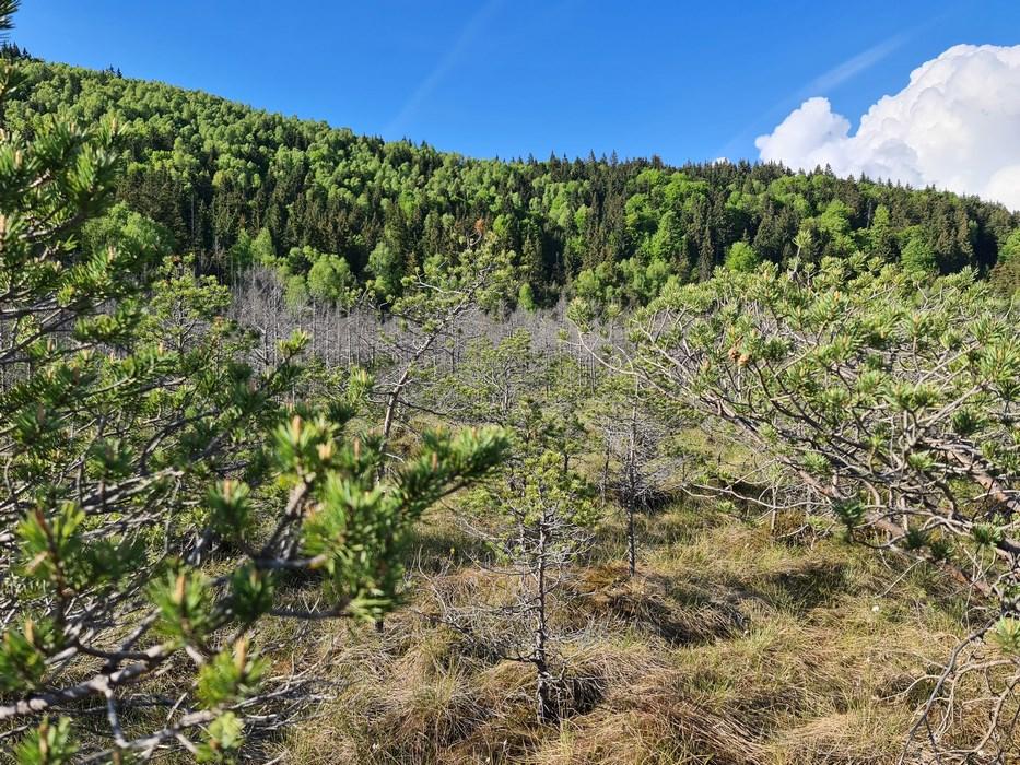 Copaci morti Tinovul Mohos