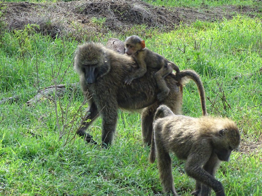 Maimute mama si fiica