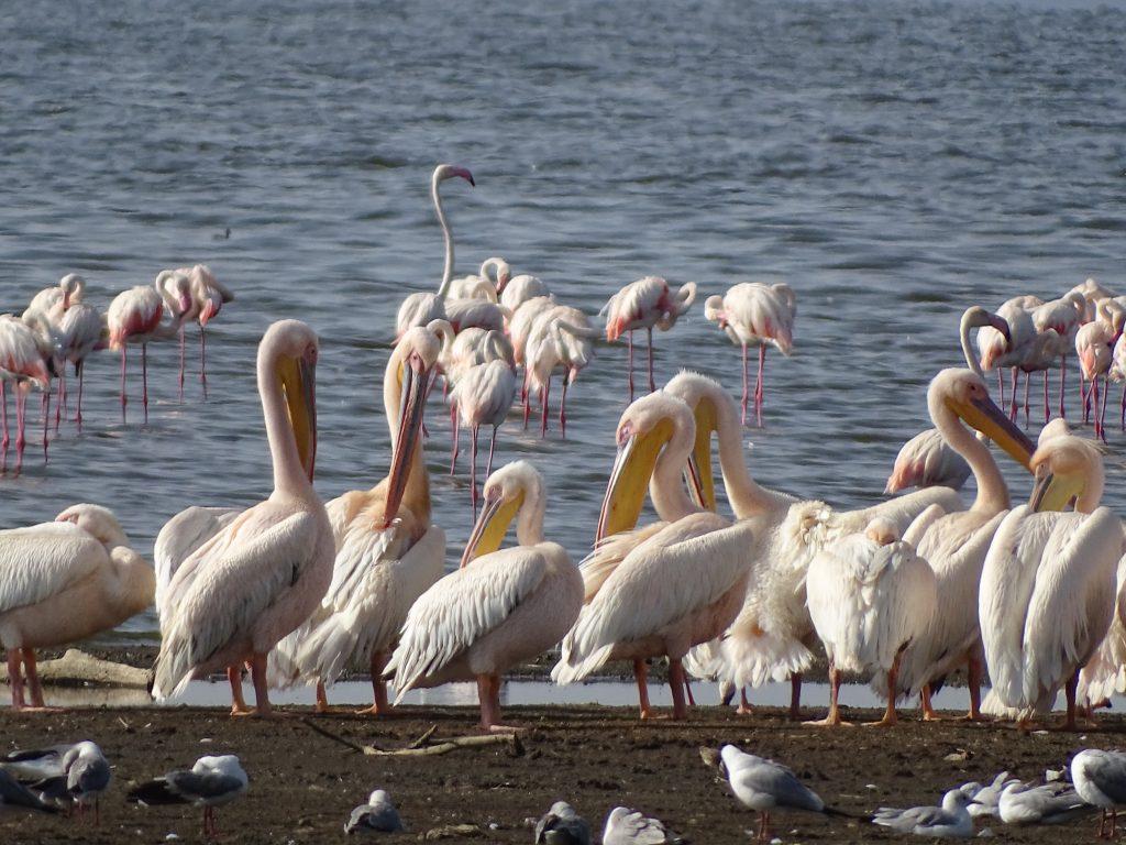Flamingo si pelicani