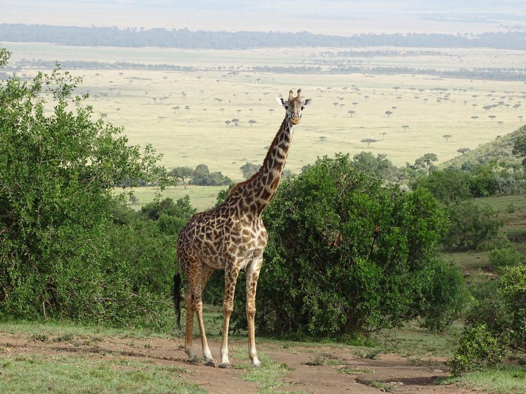 Girafa Masai Mara
