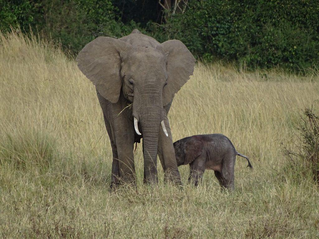 Elefant mama si copil