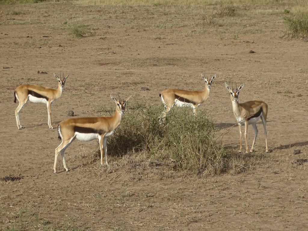 Gazele Thomson Masai Mara