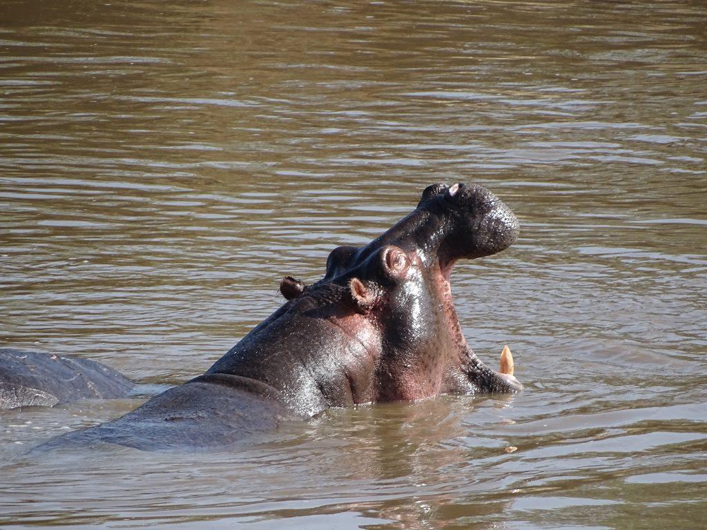 Hipopotam cascand