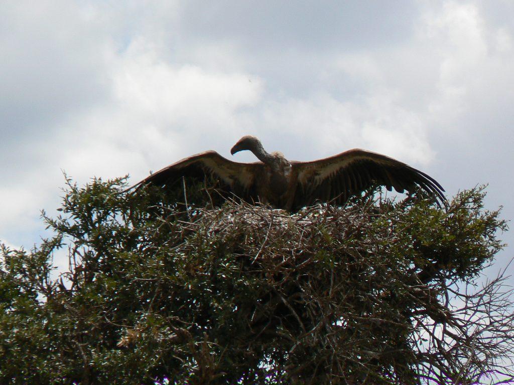 Vultur pe cuib